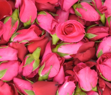 pink roses and petals background