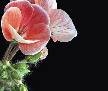 photodune-10560323-geranium-m